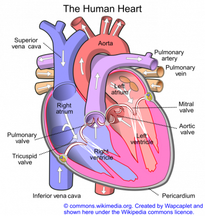 The Human Heart pic